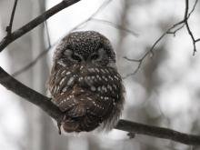 Boreal Owl on Lake Vermilion