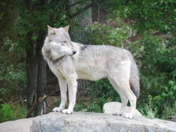Get an up-close look at wolves at the Wolf Center in Ely
