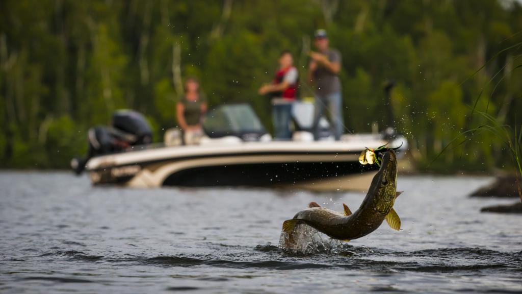 Pike jumping out of the water on Lake Vermilion
