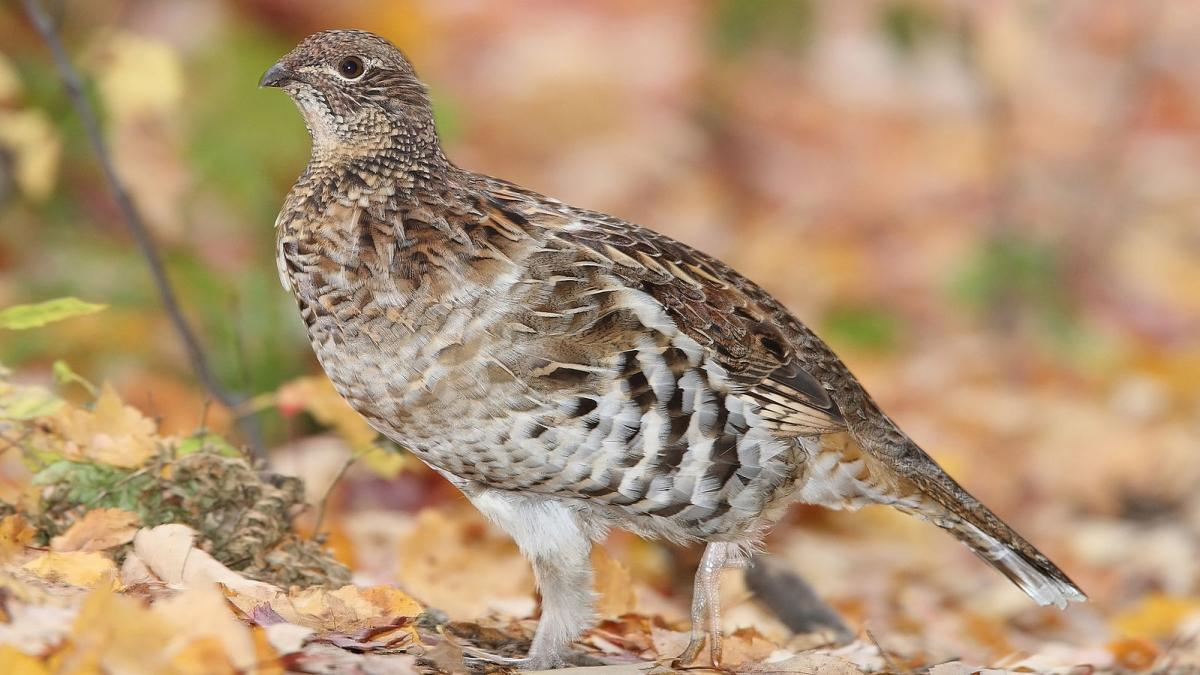 Ruffed Grouse. Minnesota Grouse hunting in the fall.